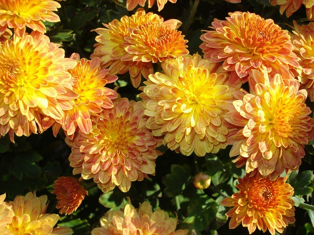 flower shop mystery: mums the word